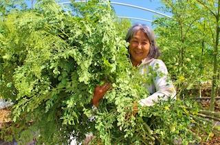 Moringa- The Wonder Tree – Sustainable World Radio